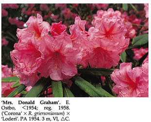Mrs Donald Graham Rhododendron