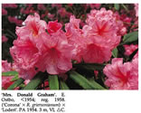 Mrs Donald Graham hybrid Rhododendron photo