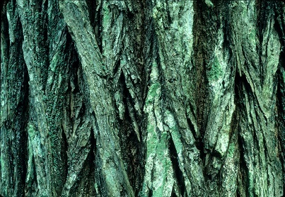 Ulmus americana bark photo by Joy Spurr