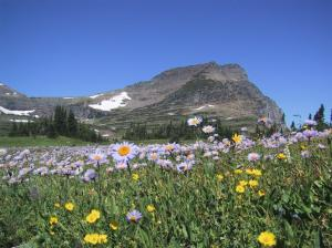 Asters, Glacier National Park