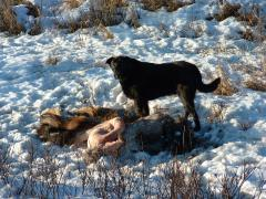 Dog with Moose Carcass