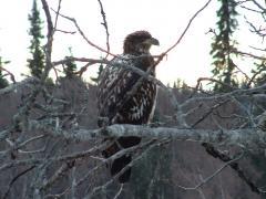 Bald Eagle in the yard