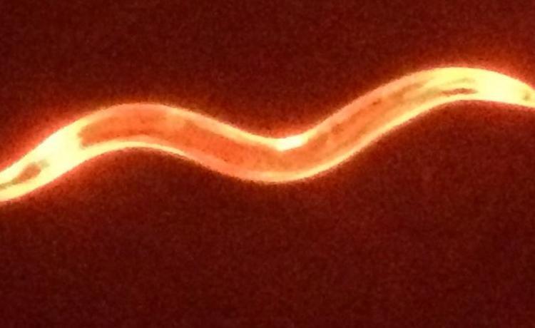 Ttbkfusworm
