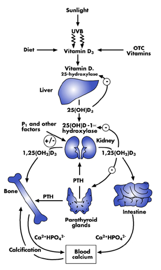 osteoed osteoporosis education Parathyroid Calcium Vitamin D figure 1