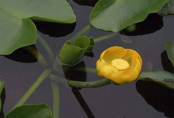 Yellow Pond Lily Spatterdock Nuphar Polysepalum
