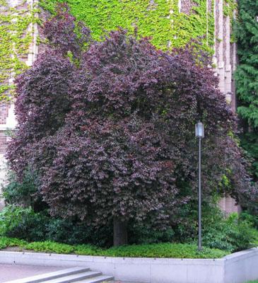 47 Purpleleaf Plum